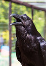 Black raven with open beak selective focus Stock Photography