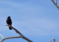 Black raven perched on a tree branch against a blue sky Stock Images