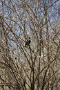 Black raven sits on a tree branch the in spring garden Royalty Free Stock Photography