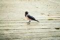 Black raven walking over wooden floor Royalty Free Stock Photo