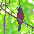 Black and red broadbill bird colorful of cymbirhynchus macrorhynchos standing on a branch Stock Photography