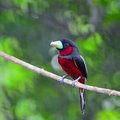 Black and red broadbill bird cymbirhynchus macrorhynchos standing on a branch Stock Image