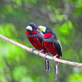 Black and red broadbill bird parents of cymbirhynchus macrorhynchos standing on a branch breast profile Stock Image