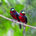 Black and red broadbill colorful of bird couple of cymbirhynchus macrorhynchos standing on a branch breast profile Stock Photography