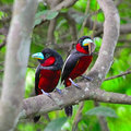Black and red broadbill colorful of bird couple of cymbirhynchus macrorhynchos standing on a branch during feeding Stock Images
