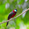 Black and red broadbill colorful of bird cymbirhynchus macrorhynchos standing on a branch breast profile Stock Photo