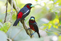 Black and red broadbill a couple of cymbirhynchus macrorhynchos on the same a branch Stock Photography