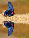 Black and Red Butterfly Royalty Free Stock Photography