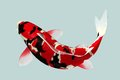 Black and red koi fish in water top view Royalty Free Stock Photography