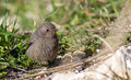 Black Redstart Royalty Free Stock Images