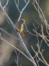 Black redstart backlight a female phoenicurus ochruros in perching on a branch Stock Images