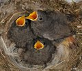 Black redstart nestlings in the nest Stock Photo