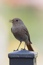 Black Redstart (Phoenicurus ochruros) Stock Image
