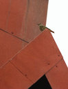 Black redstart on red roof a female phoenicurus ochruros sits top of a metallic reddish offering a strong contrast between the Stock Photos
