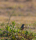 Black redstart under dry twig a phoenicurus ochruros moves on the ground of a meadow in northeastern spain a stick being it s only Stock Photos
