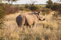 Black rhino in the bush standing grass land of south african Stock Photos