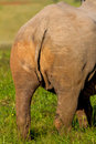 Black Rhino butt shot Royalty Free Stock Photo