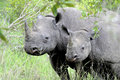 Black rhino with calf critically endangered kruger national park south africa Royalty Free Stock Image