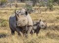 Black Rhino and calf Royalty Free Stock Photo