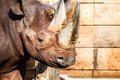 Black rhino head over blurred background Stock Images