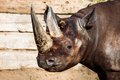 Black rhino head over blurred background Royalty Free Stock Photo