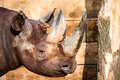 Black rhino head over blurred background Royalty Free Stock Image