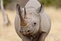 Black rhino head portrait Royalty Free Stock Photo
