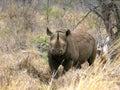 Black rhino mkhaya swaziland Stock Images