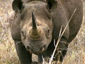 Black rhino mkhaya swaziland Stock Photos