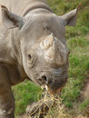 Black rhino photo of at chester zoo Stock Image