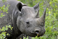 Black rhino rhinoceros in thick thornbush kruger park south africa Stock Images