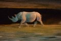 Black rhino running at night Royalty Free Stock Photo