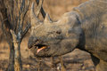Black Rhino in South Africa Royalty Free Stock Photo