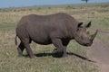 Black rhino stomping through the african wild Stock Image