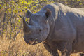 Black rhino in the wild 11 Royalty Free Stock Photo