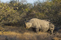Black rhino in the wild Royalty Free Stock Photography