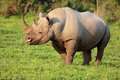Black Rhino Royalty Free Stock Photo
