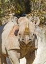 Black Rhinoceros Diceros bicornis Royalty Free Stock Images