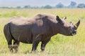 Black Rhinoceros Eating, Masai Mara, Kenya Royalty Free Stock Photo
