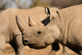 Black rhinoceros portrait of a hooked lipped diceros bicornis south africa Stock Photo