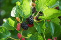 Black ripe and red unripe mulberries Royalty Free Stock Photo