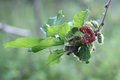 Black ripe and unripe mulberries red and green on the branch. Royalty Free Stock Photo