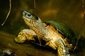 Black River Turtle Stock Photography