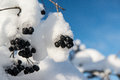 Black rowan winter in the snow against the sky Stock Images