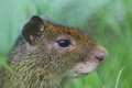 Black rumped agouti the detail of Royalty Free Stock Images