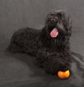 Black russian terrier brt or stalin s dog on background Royalty Free Stock Image