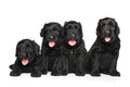 Black Russian terrier puppies Royalty Free Stock Photo