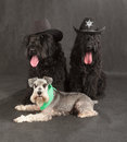Black russian terrier schnauzer brt or stalin s dog on background Royalty Free Stock Photography