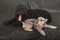 Black russian terrier schnauzer brt or stalin s dog on background Stock Photos