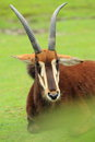 Black sable antelope lying on the grass Stock Images